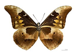Morpho rhetenor rhetenor △ MHNT