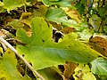 Morus nigra (3).jpg