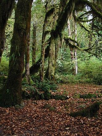 Acer macrophyllum - Image: Mosses Hoh Rain Forest 7306