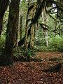 MossesHohRainForest 7306.jpg