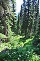 Mount Rainier - Paradise meadow, August 2014 - 05.jpg