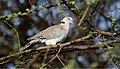 Mourning Collared Dove (Streptopelia decipiens) (44730546270).jpg