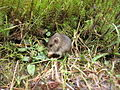 Mouse in the Forest - geograph.org.uk - 86265.jpg