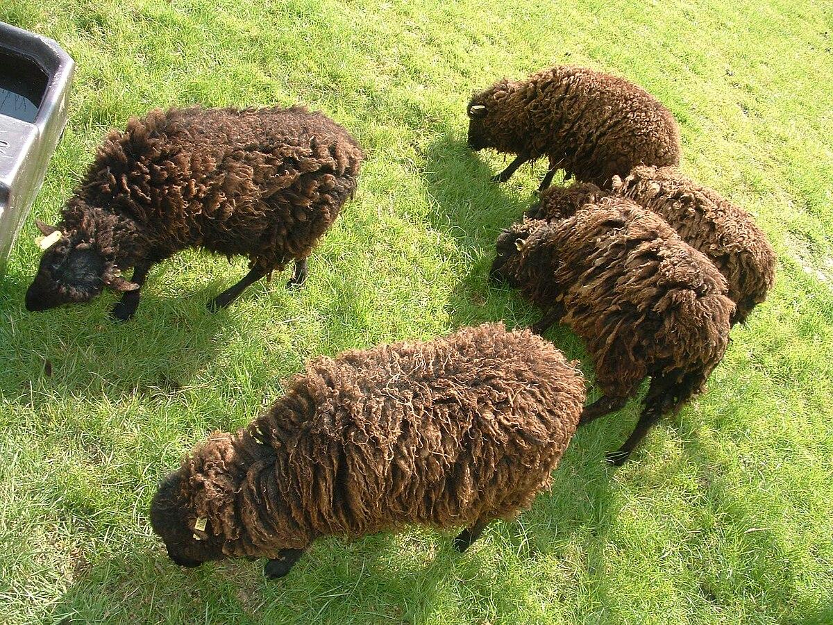 Ouessant race ovine wikip dia - Quel est le nom le plus porte au monde ...