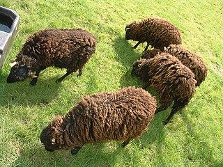 Mouton Noir dans MOUTON