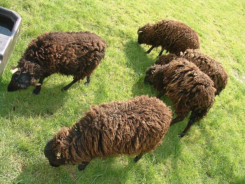 Fichier:Mouton ouessant 102.JPG