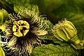 Mučenka jedlá - květ a detal okvětí Passiflora edulis.jpg