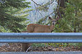 Mule deer near Yosemite West.jpg