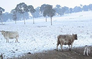 Murray Grey cattle - Murray Grey cows and a calf in snow, Walcha NSW