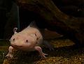Mus Hist Nat Lille Axolotl 12052013 4.jpg