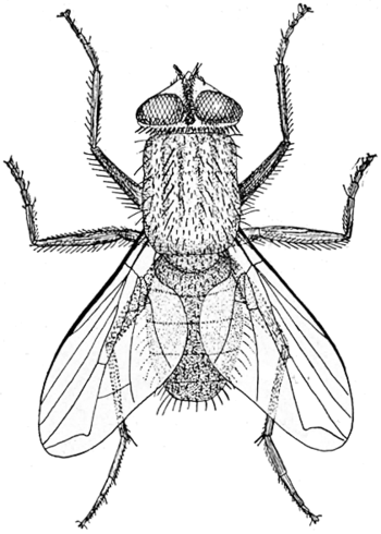 House fly illustration. The original caption r...
