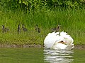 Mute Swan attacking Mallard Family (7617021234).jpg