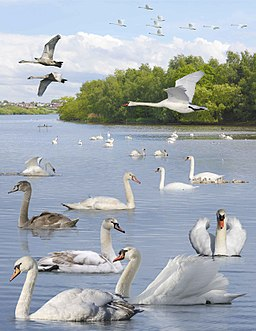 Mute Swan from the Crossley ID Guide Britain and Ireland