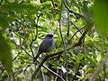 Myadestes melanops, Costa Rica.jpg