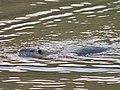 Myocastor coypus in pond of Jokoji Park - 3.jpg
