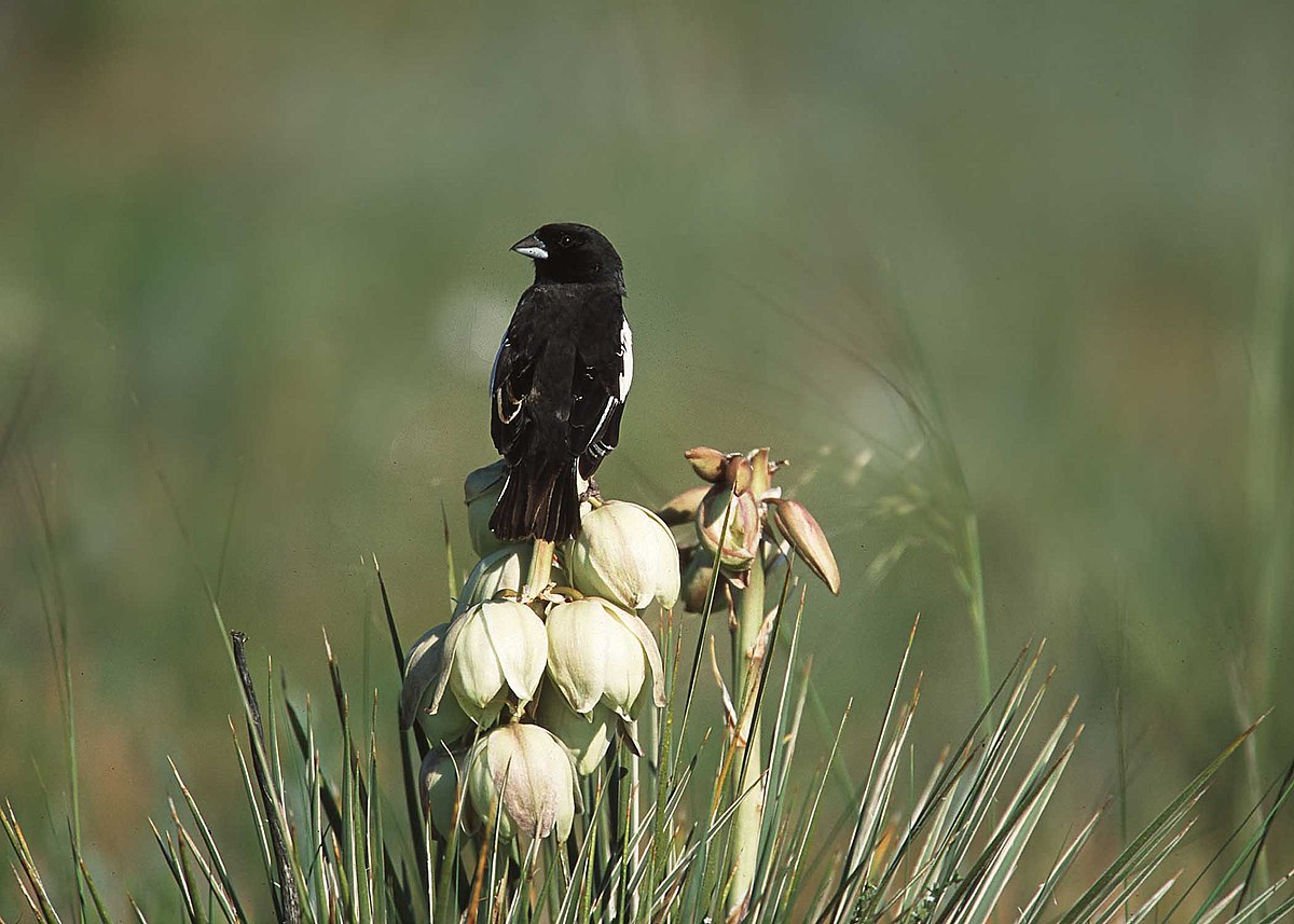 Crows Picking Over Prairie Burn On >> List Of Birds Of Colorado Wikipedia