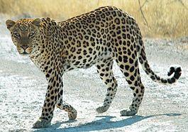 скачать леопард торрент