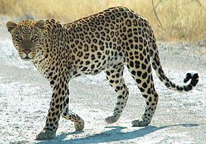 Poils courts ou poils longs? - Page 2 290px-Namibie_Etosha_Leopard_01edit