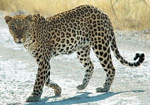 African Leopard in Etosha National Park, Namib...