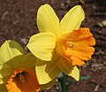 Narcissus 'Fortune'.JPG