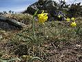 Narcissus asturiensis 04.JPG