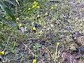 Narcissus bulbocodium Habitat 2010-3-19 DehesaBoyalPuertollano.jpg