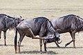 Nature of Ngorongoro Conservation Area (154).jpg