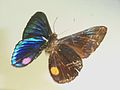 Necyriaduellona5.JPG