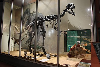 Neovenator salerii-Dinosaurisle