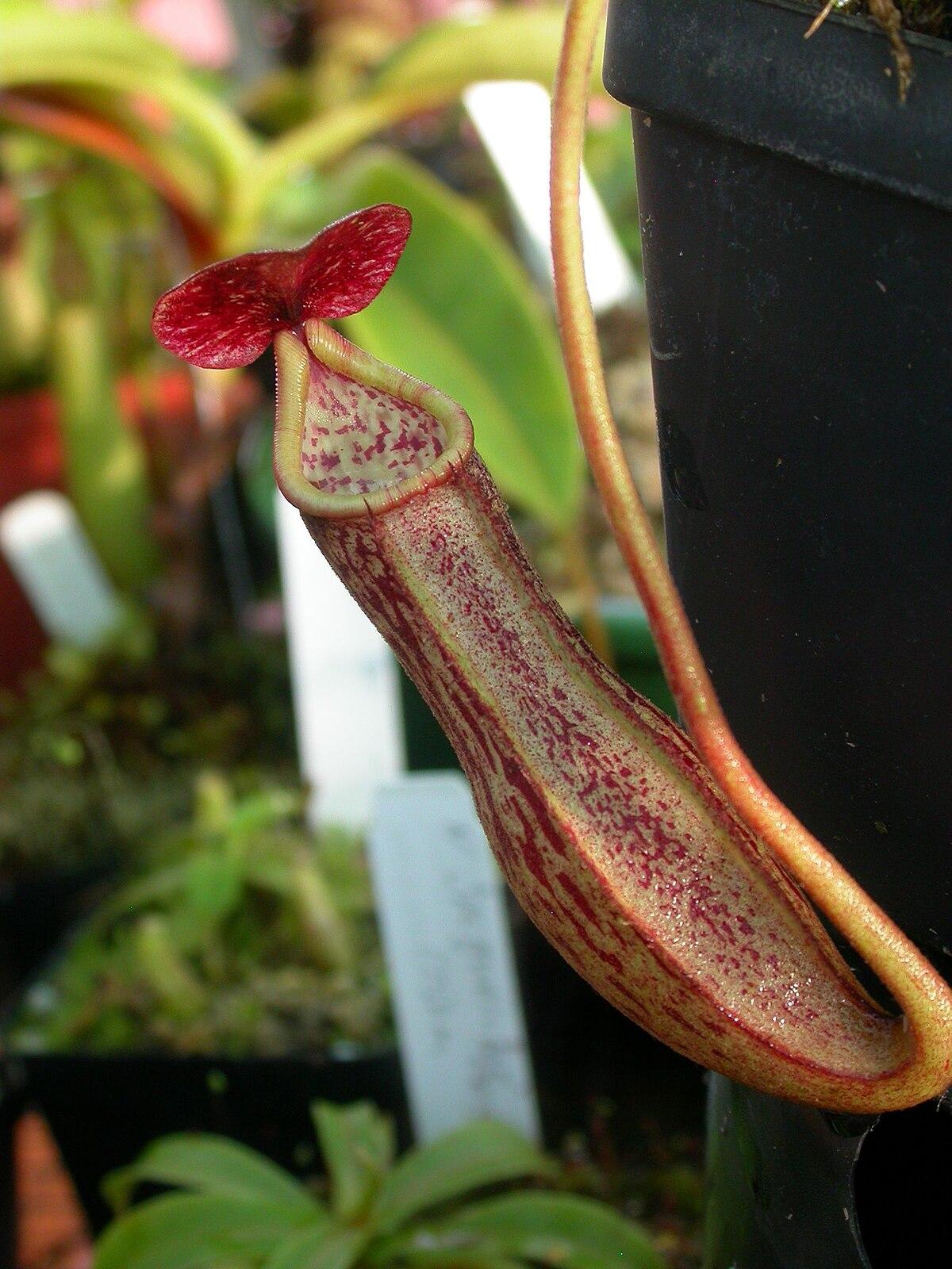 Nepenthes boschiana - Wikimedia Commons