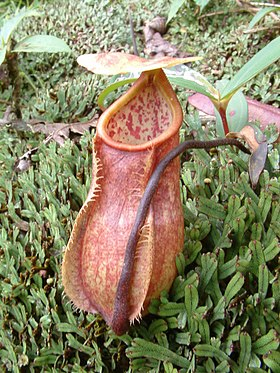 Nepenthes papuana lower pitcher.jpg