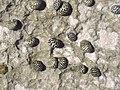 Nerita tessellata (checkered nerite snails) in a rocky shore intertidal zone (San Salvador Island, Bahamas) 1 (16030752095).jpg
