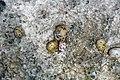 Nerita versicolor (four-toothed nerite snails) in a rocky shore intertidal zone (San Salvador Island, Bahamas) 11 (15829823027).jpg