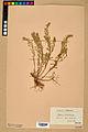 Neuchâtel Herbarium - Alyssum alyssoides - NEU000021950.jpg