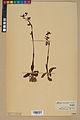 Neuchâtel Herbarium - Ophrys sphegodes - NEU000047887.jpg