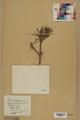 Neuchâtel Herbarium - Pinus sylvestris - NEU000003781.tif