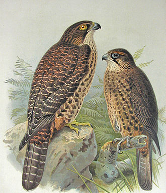 New Zealand falcon - New Zealand falcon from Buller's Birds of New Zealand, 1888