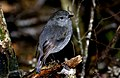 New Zealand Bush Robin (9252238528).jpg