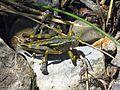 New Zealand Grasshopper - Flickr - GregTheBusker (2).jpg