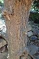 Nicotiana glauca kz02.jpg