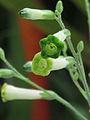Nicotiana paniculata — Scott Zona 015.jpg