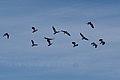 Northern Lapwing (Vanellus vanellus) (31129051371).jpg