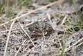 Northern Leopard Frog (21256248849).jpg