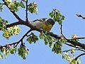 Northern Parula (female) (13884170283).jpg