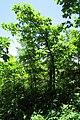 Northern Pin Oak 20-05-31 037.jpg