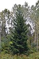 Norway Spruce (Picea abies) - Oslo, Norway 2020-09-25.jpg