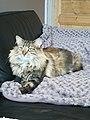 Norwegian Forest Cat (Belgium).jpg