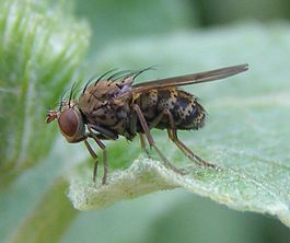 Notiphila-sp-Ephydrid-fly-20100627b.jpg