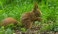 Nutty squirrel (49962686446).jpg