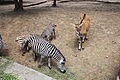 Nyíregyháza Zoo, zebras, taurotragus oryx.jpg